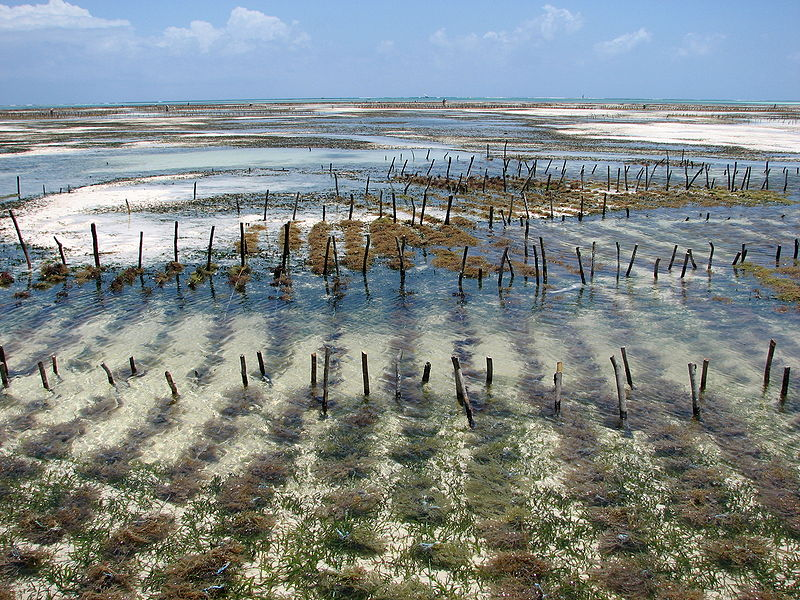 Eucheuma-Zanzibar